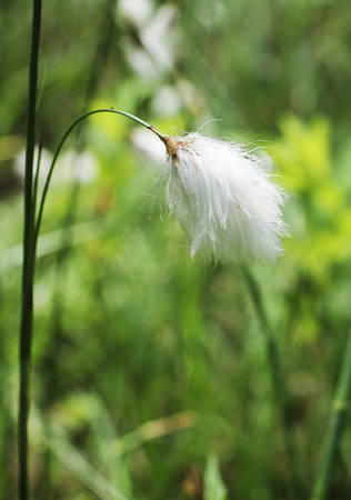 close photo of fluffy white cottongrass 写真素材