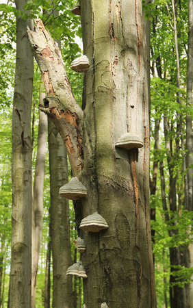several fruit bodies of tinder fungus (Fomes fomentarius) growing on the trunk of tree