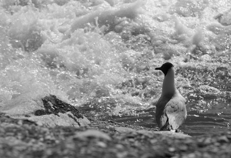 Black and white photo of a seagull standing on the bank of a river and looking into the bubbling rapids Stok Fotoğraf