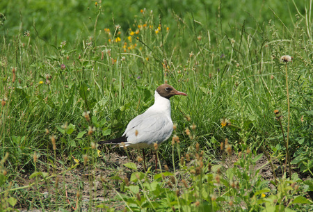 seagull standing on the edge of the green meadow in summer