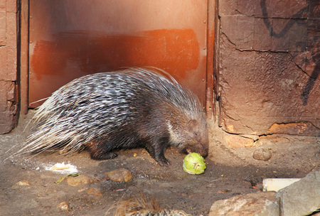 Indian crested porcupine (Hystrix indica) eating vegetables in the enclosure in ZOO Standard-Bild