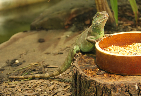 the chinese water dragon (Physignathus cocincinus) on the bowl with food in the terrarium Imagens
