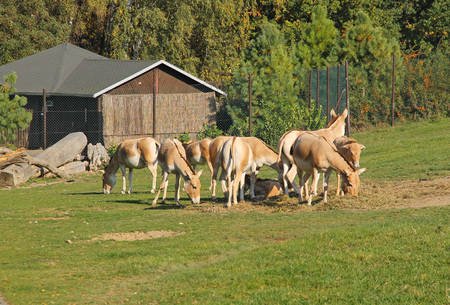 group of Asiatic wild asses, onagers (Equus hemionus) in the ZOO