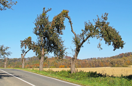 road leading through the old avenue of apple trees with crooked branches on sunny autumn day