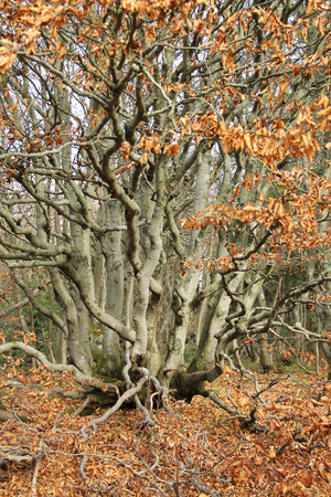 tough beech tree with crooked branches and orange sear leaves in autumn