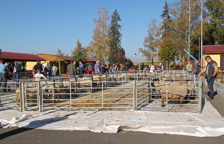 herds of sheep in the enclosure and some visitors around them at the exhibition of farm animals in Vendryne, Czech Republic, October 13, 2018