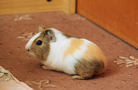 cute little brown and white guinea pig
