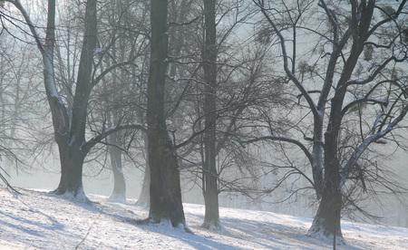 big old trees on foggy winter morning, Hukvaldy, Czech Republic