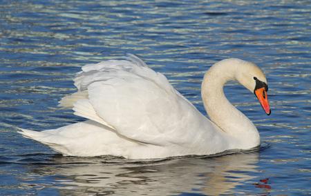 beautiful white mute swan (Cygnus olor) swimming on the water