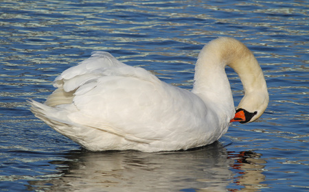 beautiful white mute swan (Cygnus olor) cleaning its feathers