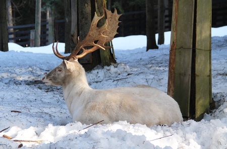 beautiful white fallow deer male having rest in the forest in winter Stock Photo