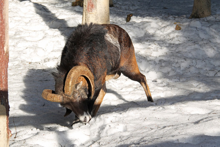 old male mouflon with big horns searching for some food in the snow in winter