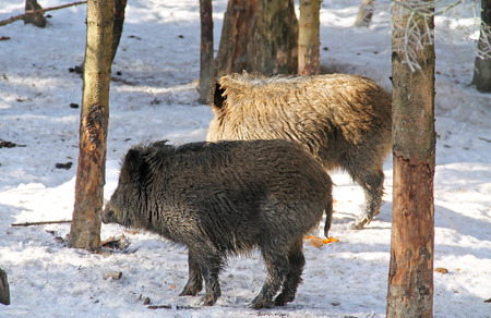 two wild boars (Sus scrofa) in the wood in winter