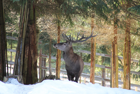red deer (Cervus elaphus) male with big antlers in winter forest