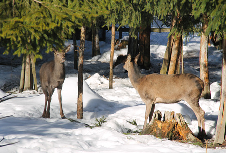 red deer females in the winter forest