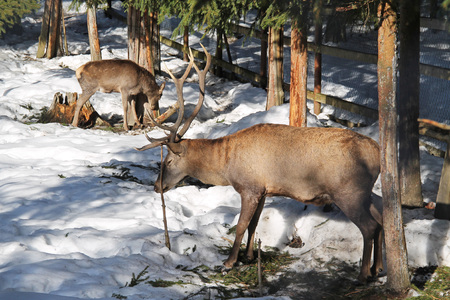 red deer male and female in the winter forest