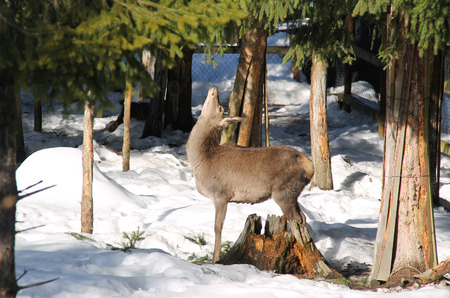 red deer female in funny position in the winter forest
