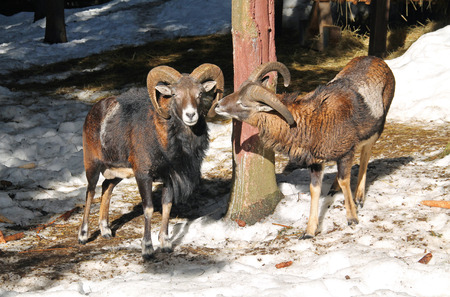old male mouflon with big horns and the other younger one in winter