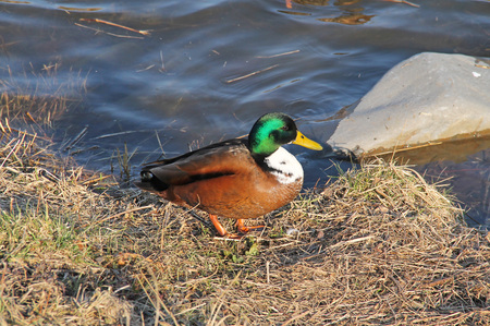 mallard duck male with unusual color mutation standing on the river bank Stock Photo
