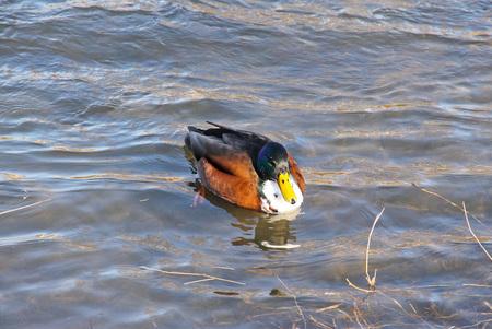 mallard duck male with unusual color mutation swimming in the river