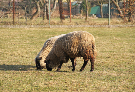 two sheep grazing on the pasture