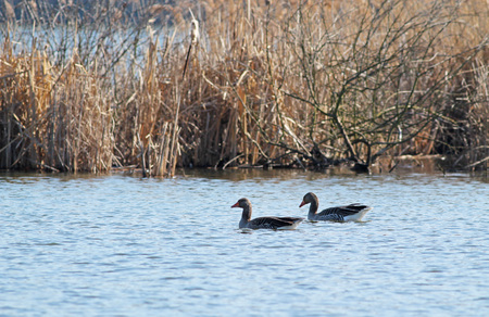 couple of wild geese swimming on the lake Stock Photo