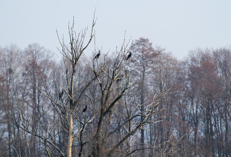 colony of the great cormorants (Phalacrocorax carbo) on the trees in Poodri, Czech Republic Stock Photo
