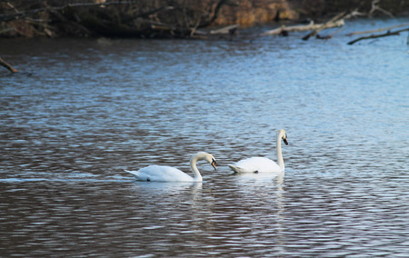 beautiful white mute swans (Cygnus olor) swimming on the pond in Poodri, Czech Republic
