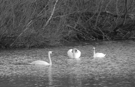 black and white photo of beautiful white mute swans (Cygnus olor) swimming on the pond in Poodri, Czech Republic