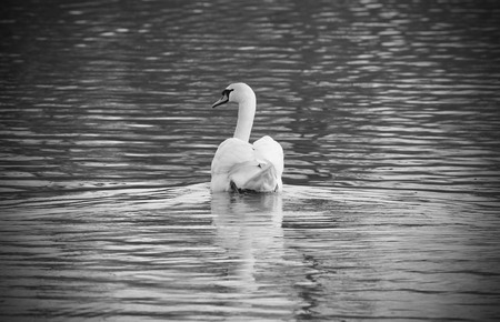 black and white photo of beautiful white mute swan (Cygnus olor) swimming on the pond