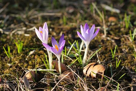 close photo of blooming purple crocuses in spring