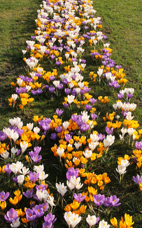 flowerbed of blooming purple, yellow and white crocuses in spring