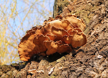 fruiting body of some species of polypore on the tree Stock Photo