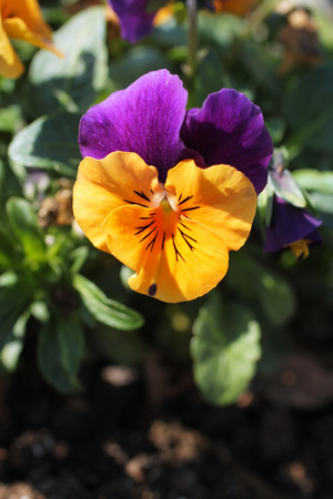 close photo of blooming purple and orange pansy