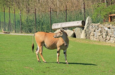 eland antelope male (Taurotragus oryx) pasturing on green grass in the ZOO