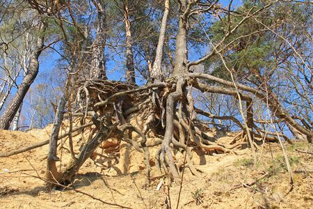trees with revealed bizarre roots growing on eroded slope, Beskydy mountains, Czech Republic