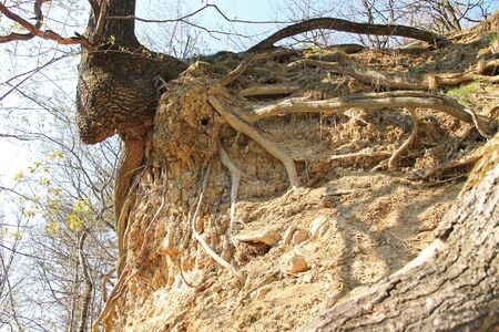 tree with revealed bizarre roots growing on eroded slope, Beskydy mountains, Czech Republic 스톡 콘텐츠