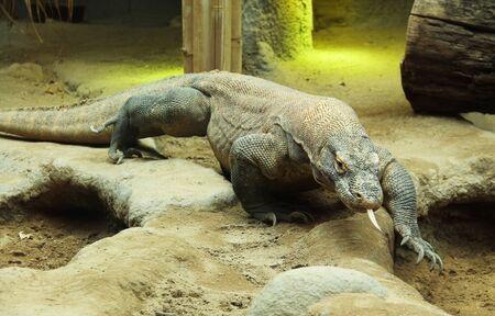 the Komodo dragon (Varanus komodoensis), large reptile walking in its enclosure