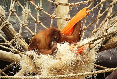 orangutan (Pongo abelii) building its nest in the ZOO