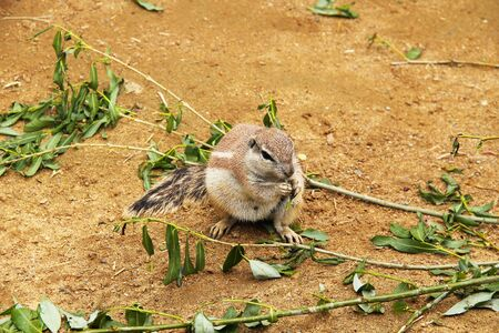 cute cape ground squirrel (Xerus inauris) eating some twigs with leaves Banque d'images