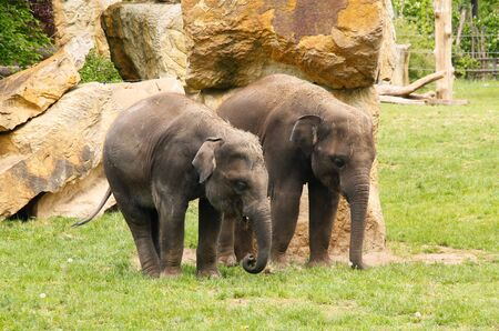 two young asian elephants (Elephas maximus)
