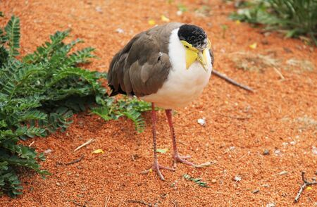 masked lapwing (Vanellus miles), exotic bird with yellow wattle