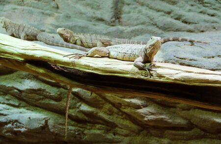 some iguanas on the branches in the terrarium
