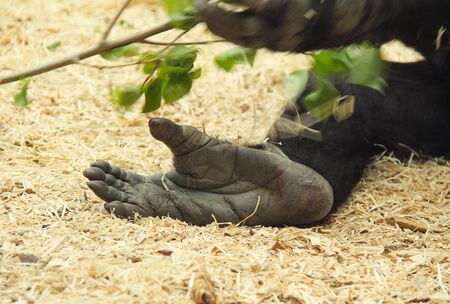 cute foot of gorilla in the ZOO