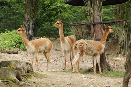group of vicunas (Vicugna vicugna) eating hey in the ZOO