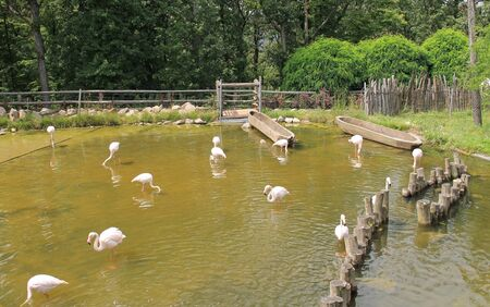 flock of greater flamingos (Phoenicopterus roseus) in the pond in the ZOO Фото со стока - 129547209