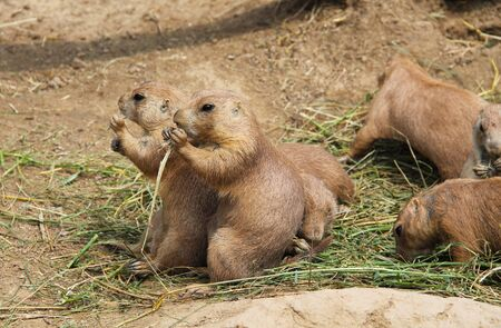 cute prairie dogs (Cynomys ludovicianus) eating some food Imagens