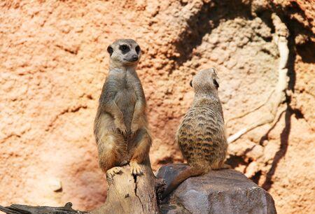 cute meerkats (Suricata suricatta) sitting on the rock and guarding