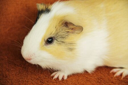 portrait of a cute young yellow, white and black guinea pig Reklamní fotografie