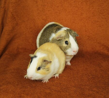 two cute guinea pigs on the blanket - big and little one
